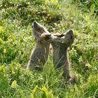 Marmotte...