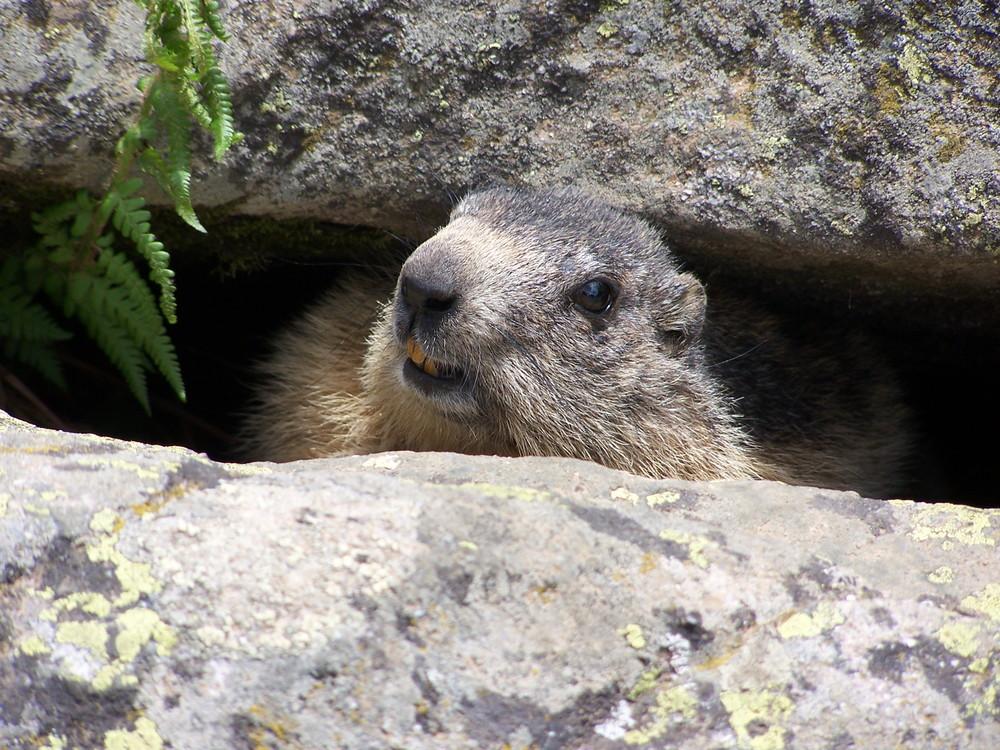 Marmotte curieuse ... mais pas trop !