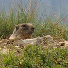 Marmotte... Curiose!