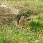 Marmotte du Mont Cenis (Savoie)