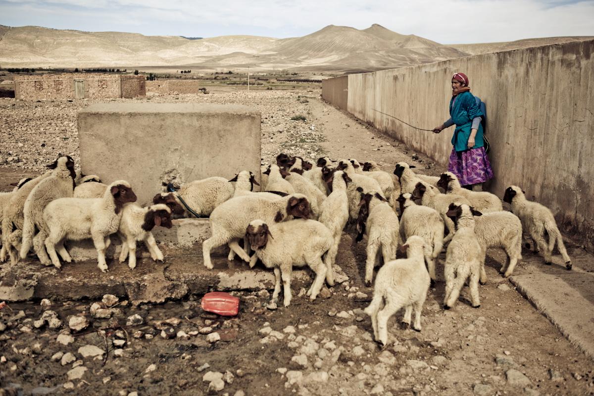 marokko- schafe