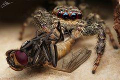 Marpissa muscosa Weibchen mit Beute