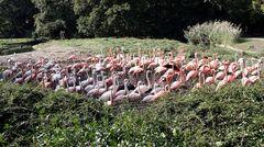 Marsch der Flamingos