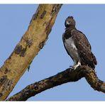 Martial Eagle.