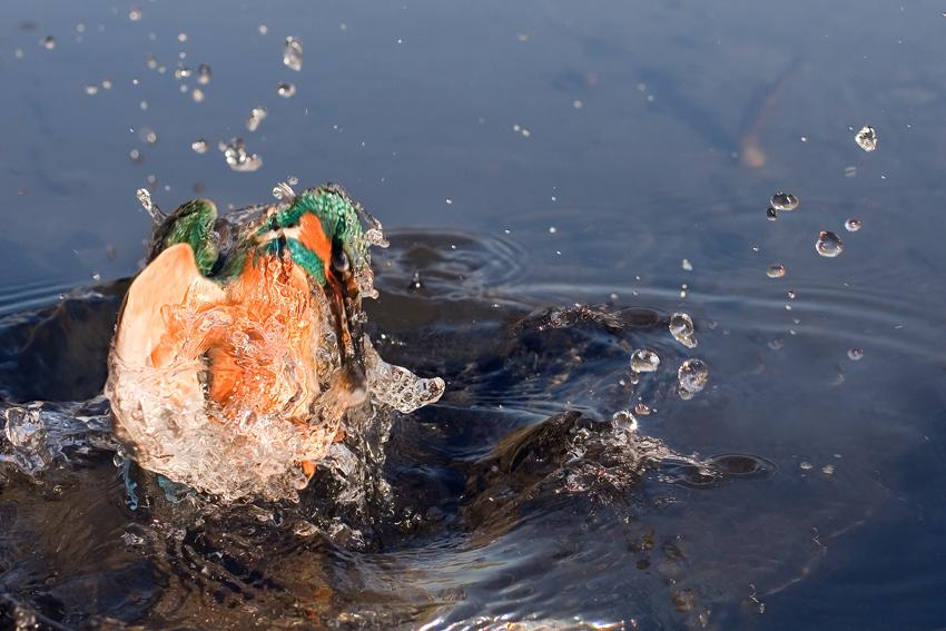Martin Pescatore- Eisvogel, kingfisher
