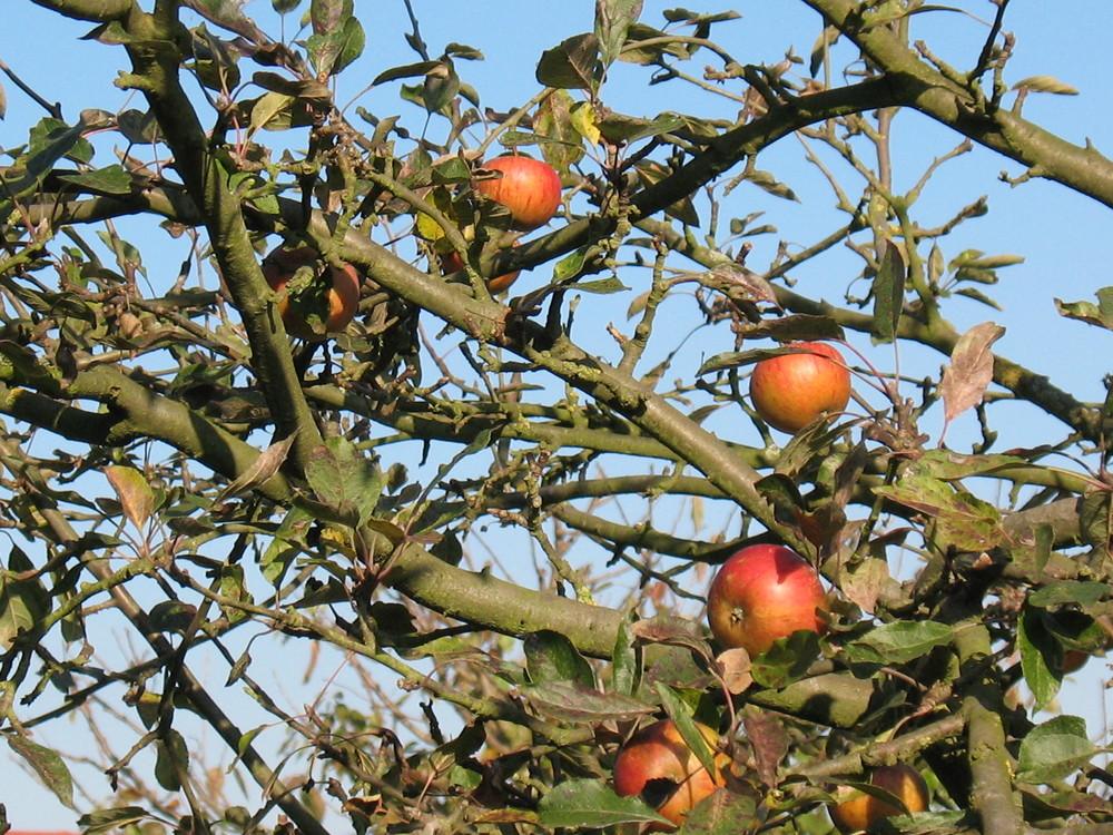 Martinsäpfel