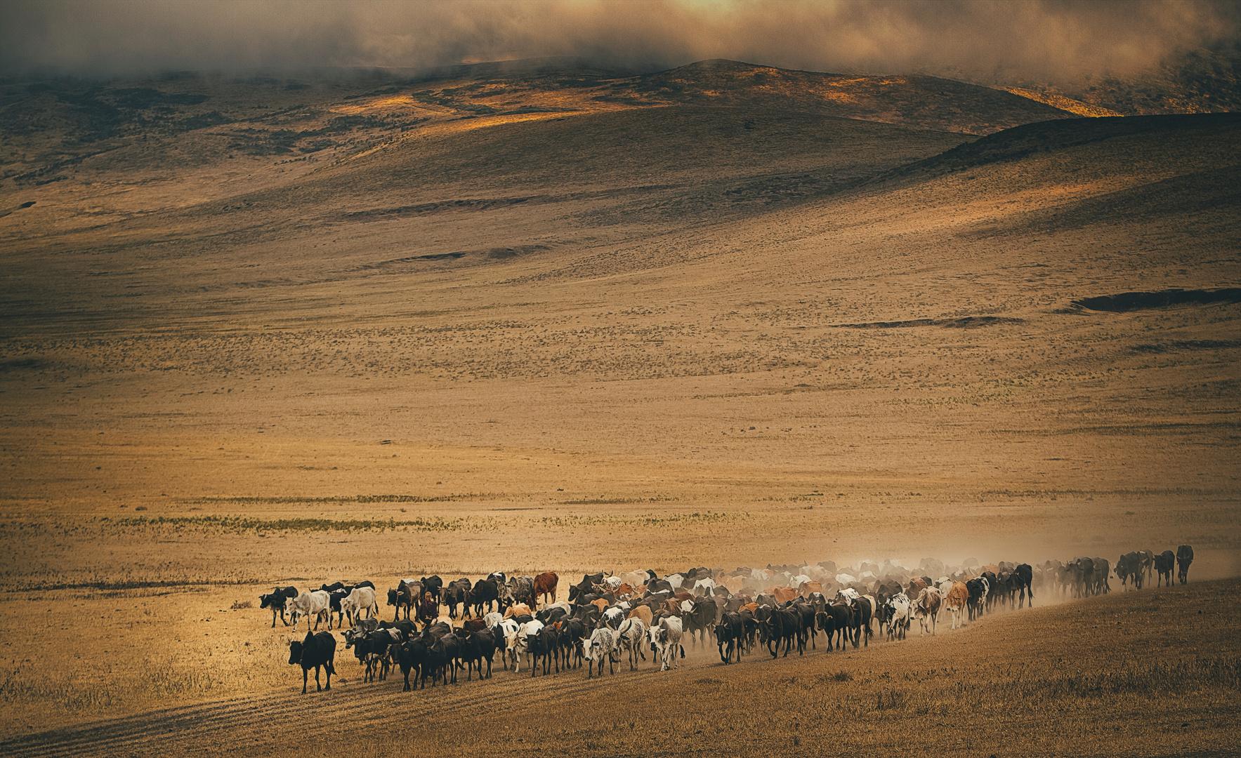 Masai Kuhherde durchquert Ngorongoro Krater