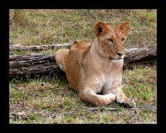 Masai Lion (Panthera leo nubica)