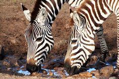 Masai Mara ~ Drinking Zebras