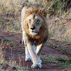 Masai Mara ~ King Of Mara