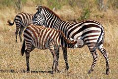 Masai Mara ~ Mama......!