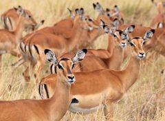 Masai Mara NP. Kenia