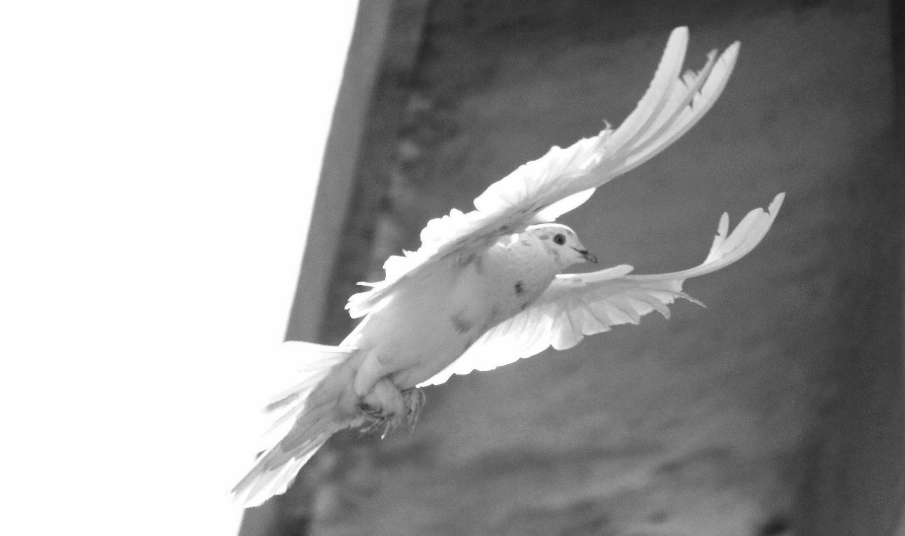 Masakali - A white pigeon :)