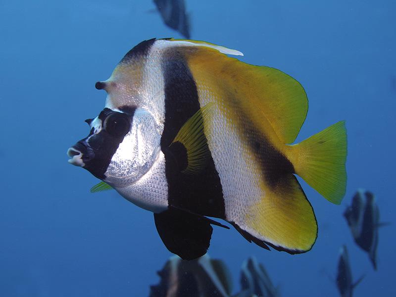 Masken-Wimpelfisch