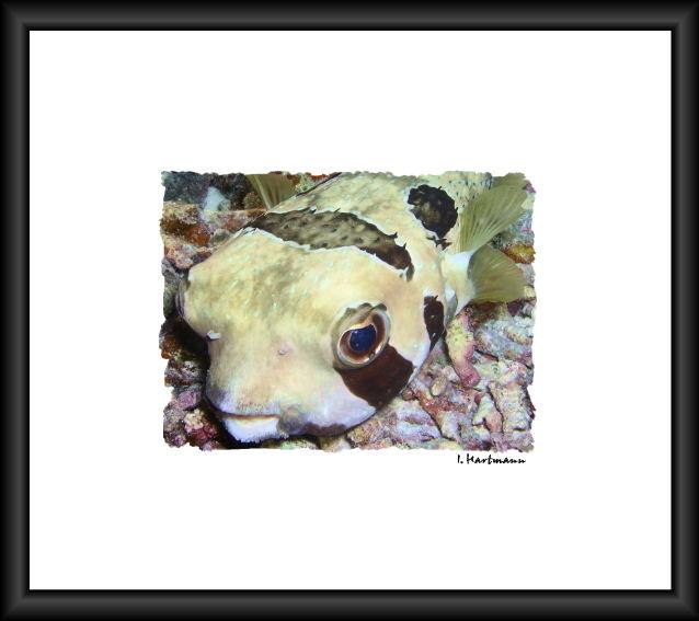 Maskenigelfisch - Diodon liturosus