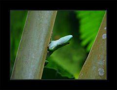 Masoala Gecko