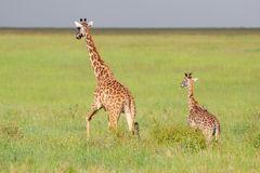 Massai-Giraffe (Giraffa tippelskirchi)