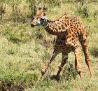 ....Massai Giraffe...in 4 Bildern....