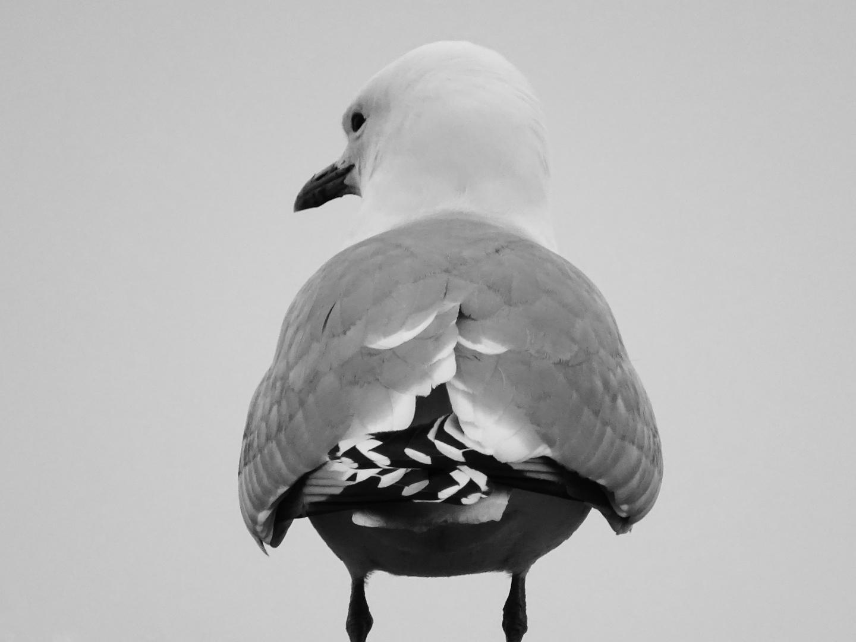 Master of gull
