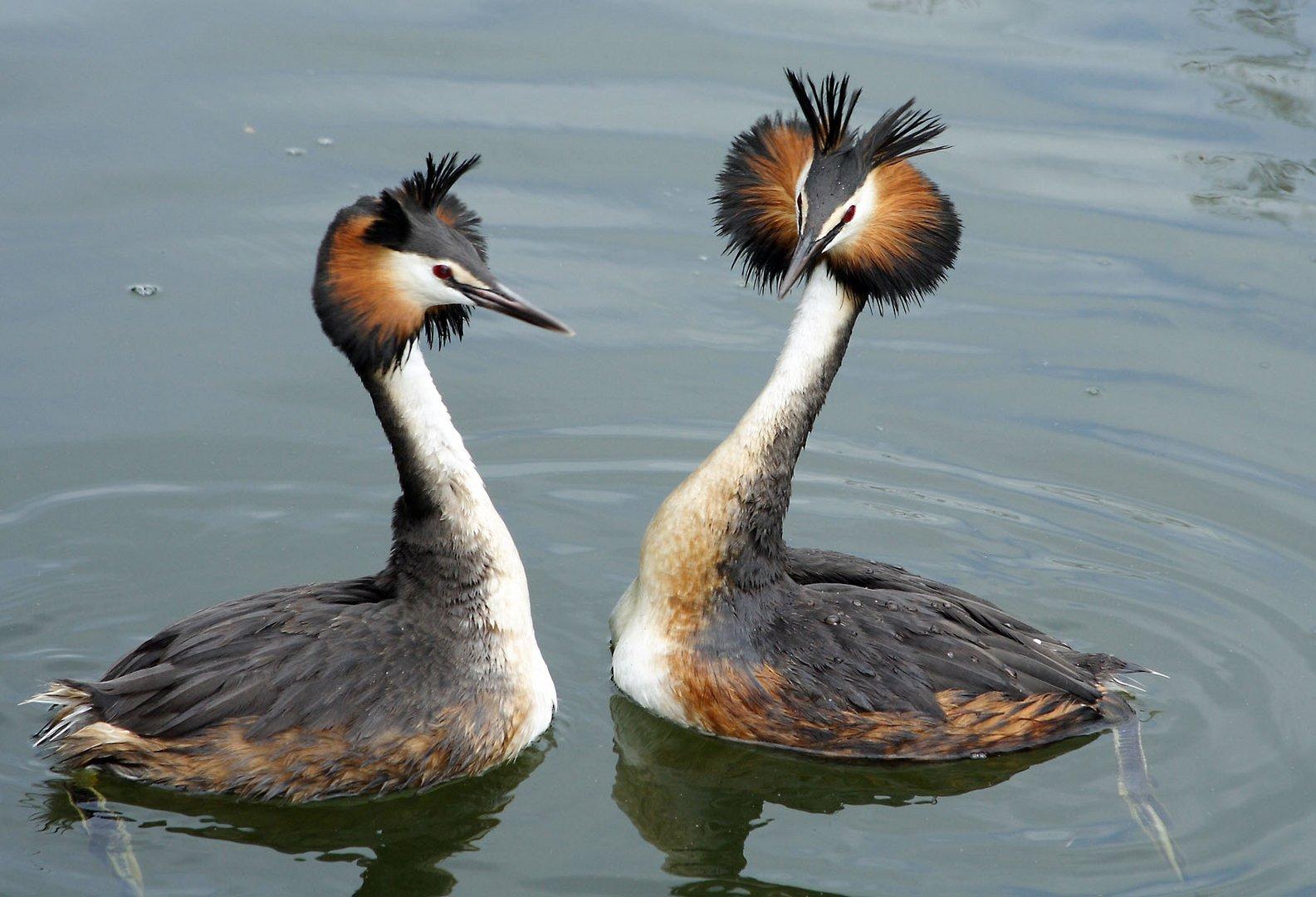 mating season for the grebe