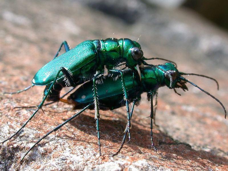 Mating Tiger beetles