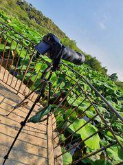 Matos prêt pour photographier les lotus