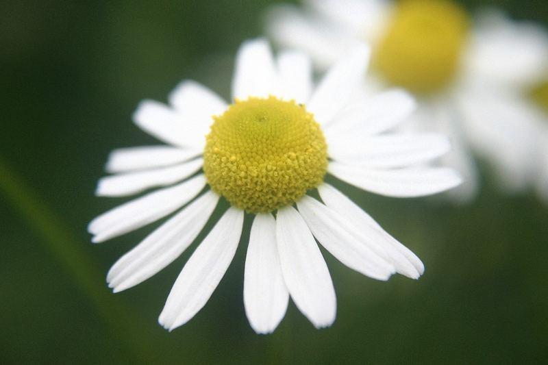Matricaria recutita - echte Kamille