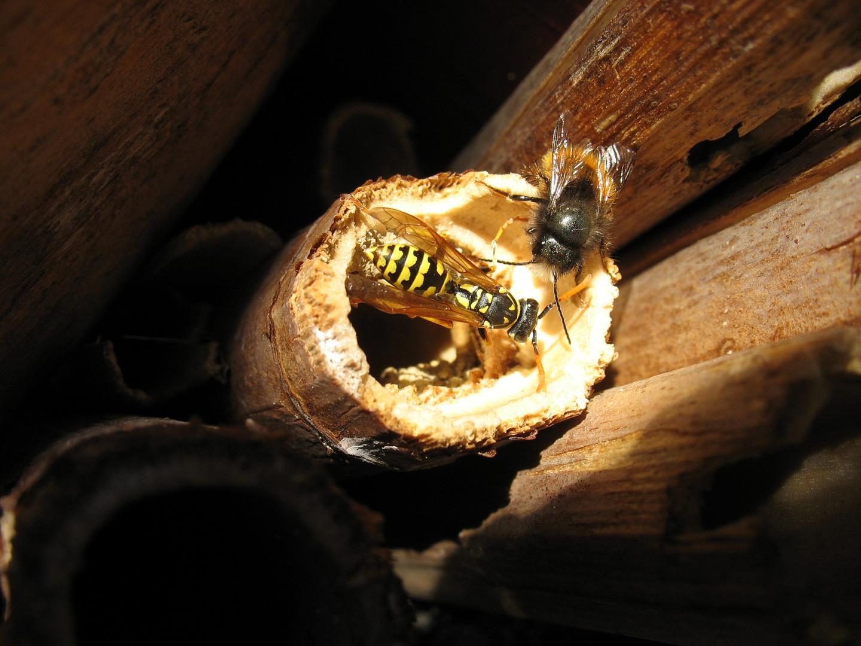 Mauerbiene und Feldwespe am Nistplatz