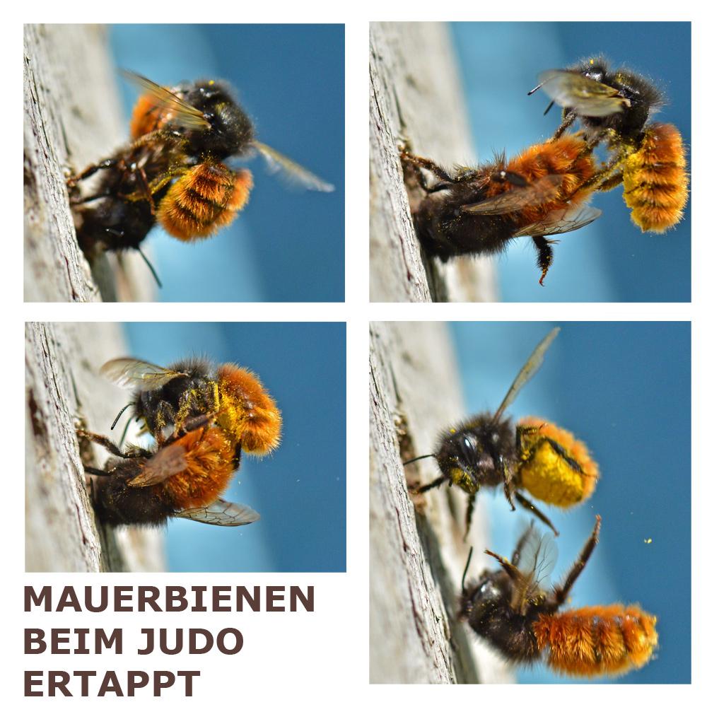 Mauerbienen beim Judo ertappt!