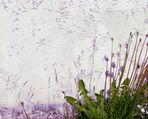 Mauerblümchen 1.5