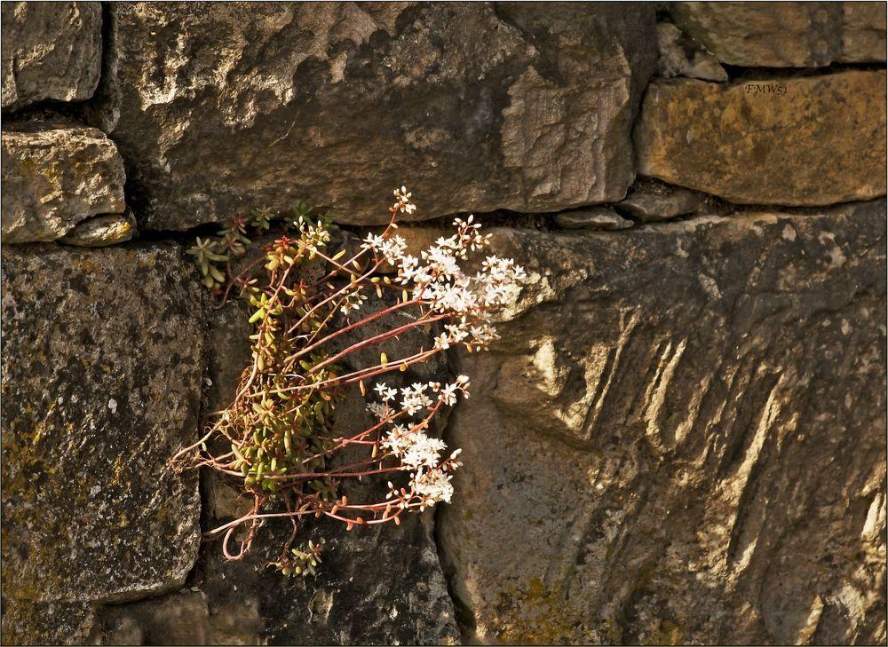 Mauerblümchen (3)