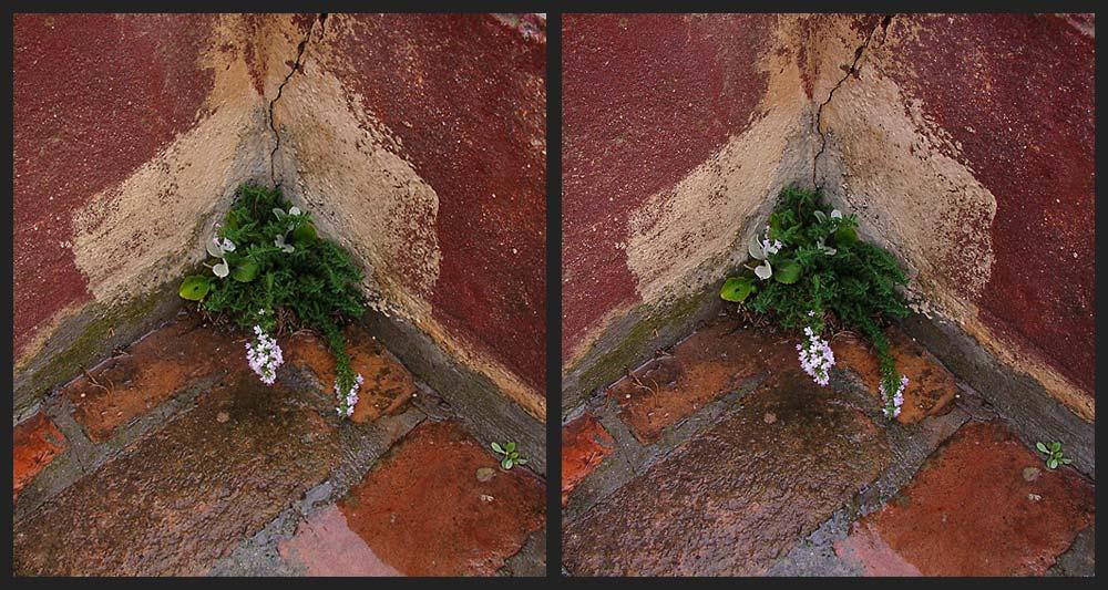 Mauerblümchen im Regen