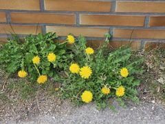 Mauerblümchen mit Löwenzähnen