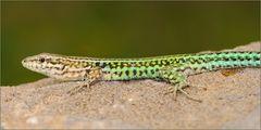 Mauereidechse (Männchen)