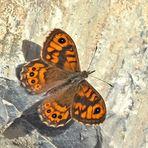 Mauerfuchs (Lasiommata megera) - La Mégère ou le Satyre.