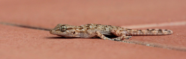 Mauergecko