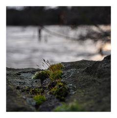 Mauerpflänzchen vor Ruhrhochwasser