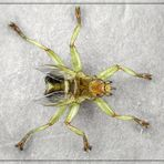 Mauerseglerlausfliege (Crataerhina pallida)