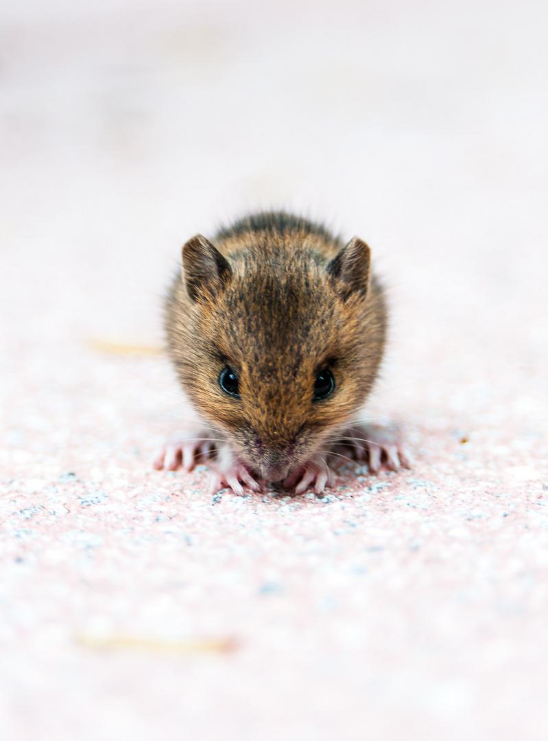 Maus- 12 Stunden vor ihrem Tod