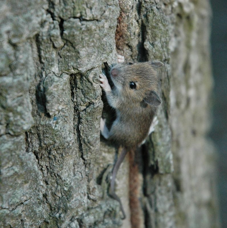 Maus am Baum