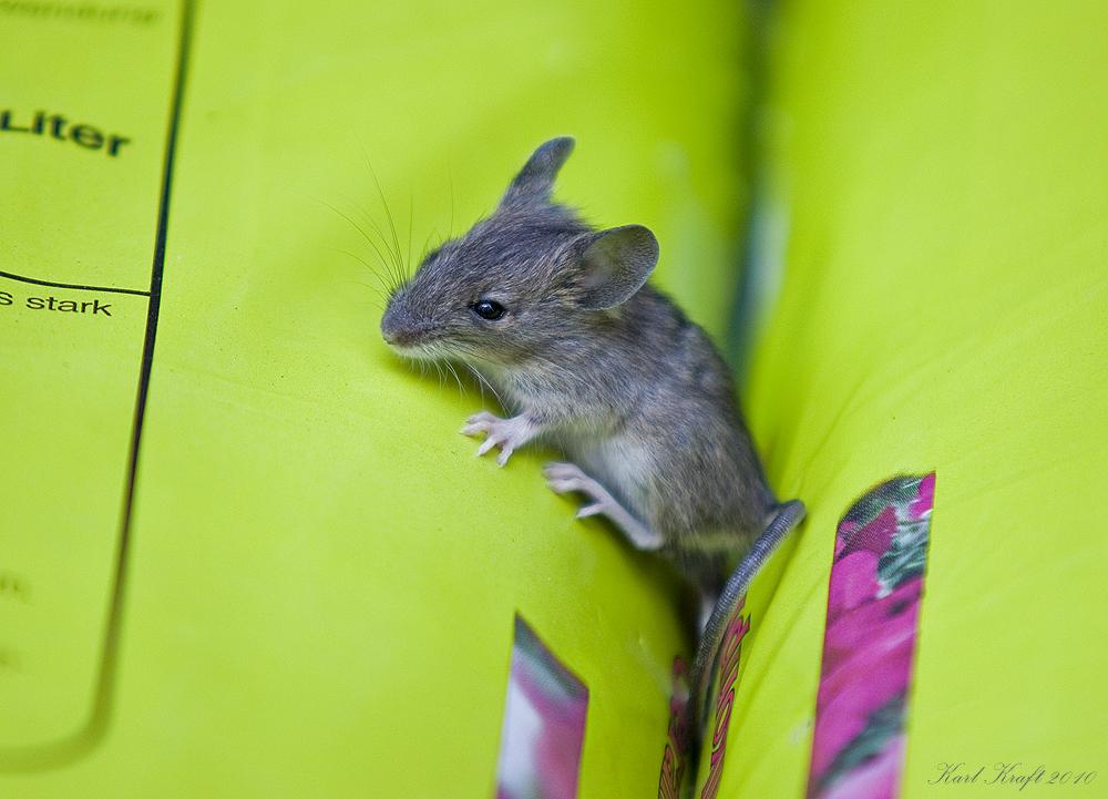 maus im garten foto bild tiere wildlife s ugetiere bilder auf fotocommunity. Black Bedroom Furniture Sets. Home Design Ideas