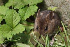 Maus im Garten  :wenige Std.später von Hund Buffy getötet