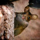 Maus mit Jungtier im Maul