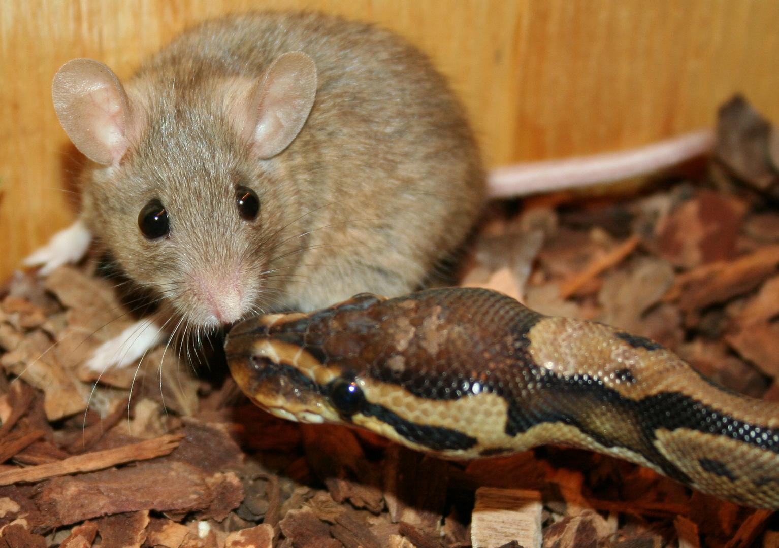 Maus und Schlange