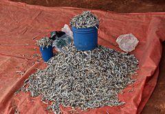 Mavanga Fische