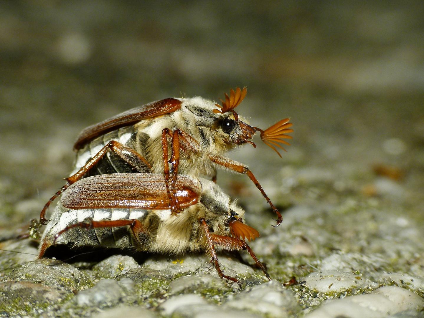 """""""M(a)y beetles"""""""