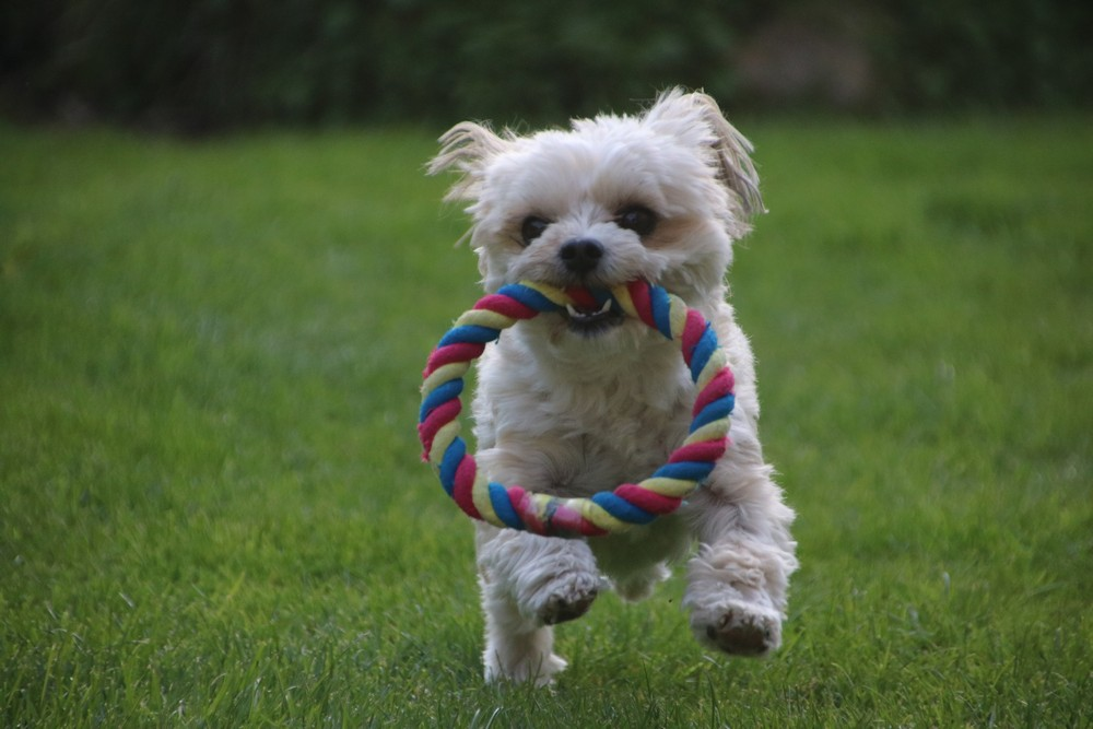 Mayla, der rasende Hund...