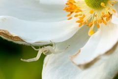 Mdme Veränderliche Krabbenspinne in Herbstannemone