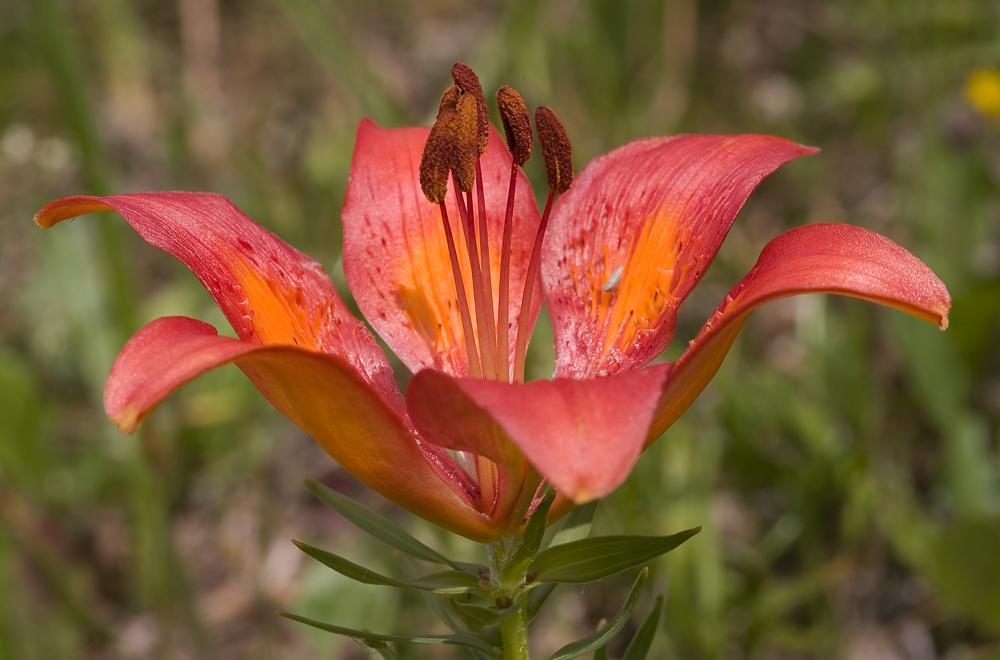 Mediterrane Feuerlilie