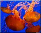 Méduses - Aquarium de Monterey - Californie